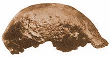 Java man was created from this bone fragment.